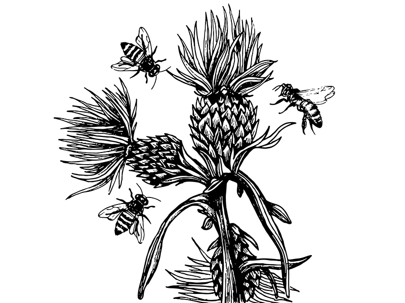 Thistle and Bees Illustration